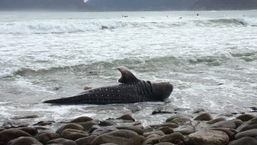 Juvenile whale shark washed ashore in Kommetjie